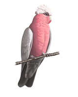 Galah by Hobbitato