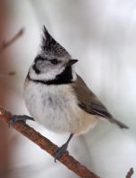 Crested Tit 5 by OldEric