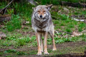 Coyote on his guard 2 by ClaudeP-Photography