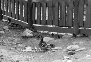 Duck Family by Kinipella