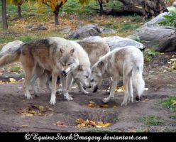 Grey Wolf 1 by EquineStockImagery