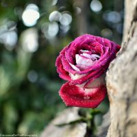 Rose in the woods by FrancescaDelfino