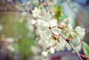 Cherry Blossom 2 by howtiee93