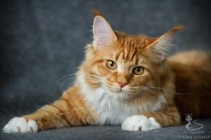 Roxie the Maine Coon kitten. by raziela
