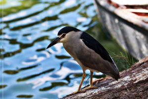 Black-crowned Night Heron by Unholy-God