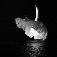 Swan Song by Bazz-photography