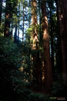 Muir Woods 13 by massivefocus