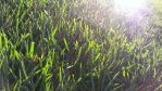 Morning Grass by Isaiah2696
