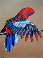 Crimson Rosella by Verenique