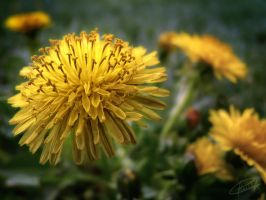 Dandelion by alex-trl