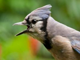 Blue Jay Vocalizing by MichelLalonde