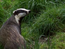 Badger by Oraa