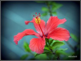 Hibiscus by bluediabolo