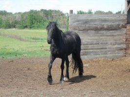 Friesian 6 by wazariia-stock