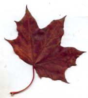 Autumn Leaf 46 by fioletta-stock