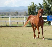 GE Arab chestnut walk front on by Chunga-Stock