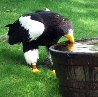 Drinking Eagle Stock by DemoncherryStock