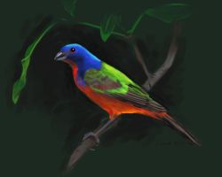 Painted bunting by NetRaptor