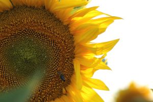 Sunflower Halo by sztewe