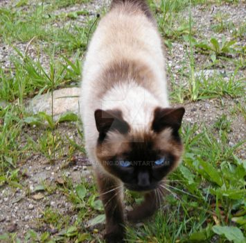 Siamese Cat 3 by CMFbling
