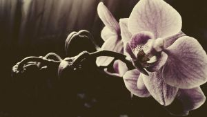 Orchid. by faiiiry