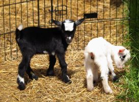 Baby Goats 2 by Dracoart-Stock