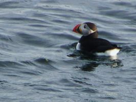 Lone Clown- Atlantic Puffins by AcinaD