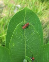 Red Milkweed Beetle 1a by Windthin
