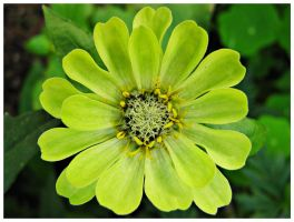 lime green Zinnia by miss-gardener