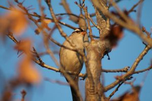White-crowned Sparrow by Broadwinger