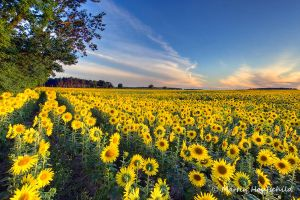 Sunflowers II by Haufschild
