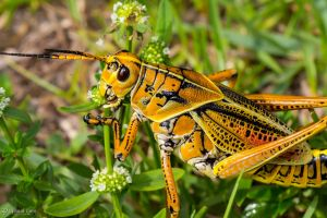 Eastern lubber grasshopper eating by CyclicalCore
