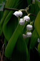 Lily of the Valley by Yoonett