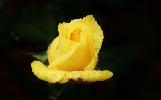 Wet Yellow Rose by salman-khan
