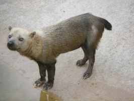Bush Dog by liveorange