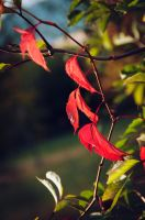 red leaves by anaispopy