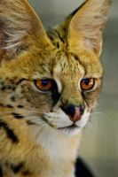 01036 Serval by Yellowstoned