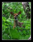 IMG 3786 Fawn by CitizenOlek