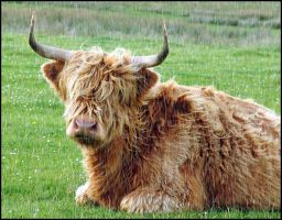 Highland Cow... by MichiLauke