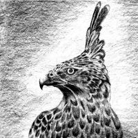 javan hawk eagle by hanafizulfani