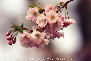 .:Cherry Blossom:. by WhiteSpiritWolf