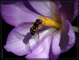 Bee Fly 20D0038776 by Cristian-M