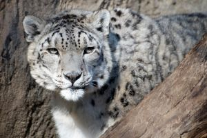 Snow Leopard II by DeniseSoden