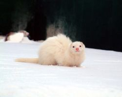 the ferret by 1day0