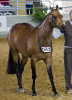 STOCK - 2014 Arabian Gala-202 by fillyrox