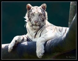 White Striped Tiger In A Tree by shutterbugmom