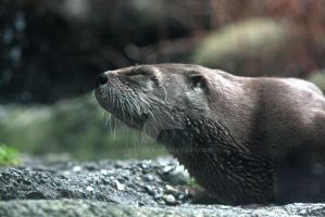 River Otter by dbvictoria