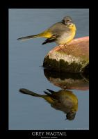 GREY WAGTAIL.1 by THEDOC4