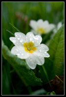 Wet Primrose by george-kay