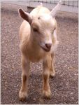 Goat by Unfaithed